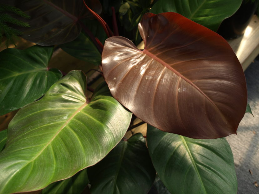 The 'Burgundy' red-leaf philodendron (Philodendron erubescens) has beautiful new reddish leaves.