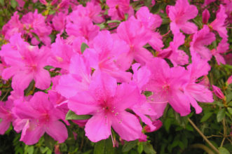 The 'Formosa' Southern Indica Azalea produces large blooms.