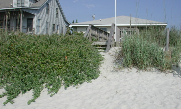 Identifying & Managing Beach Vitex