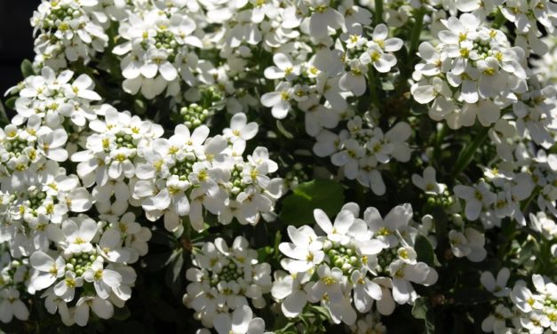 Iberis (Candytuft)