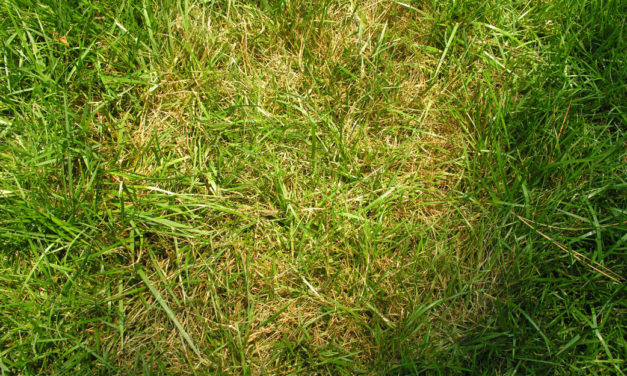 Brown Patch & Large Patch Diseases of Lawns