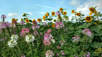 Cleome (Cleome hassleriana) mixes well with other summer annuals, such as sunflowers (Helianthus annus).