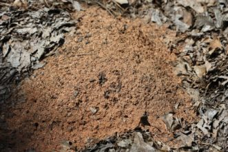 Fire ant mound in mulched area of vegetable garden.