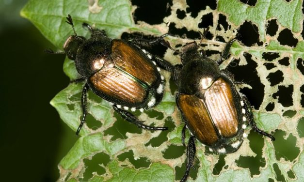 Rose Insects & Related Pests