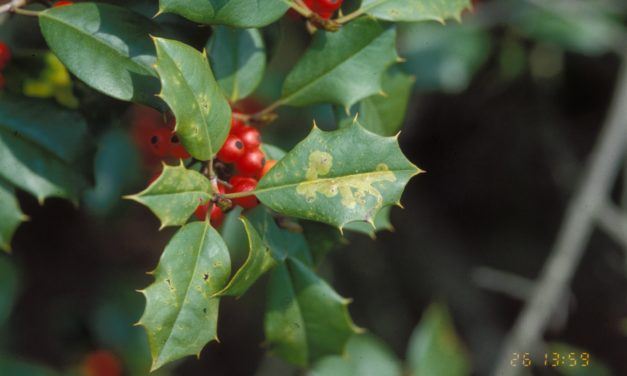 Holly Diseases & Insect Pests
