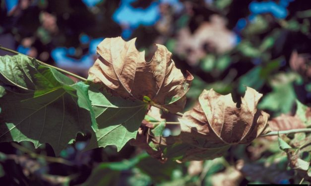 Sycamore Diseases & Insect Pests