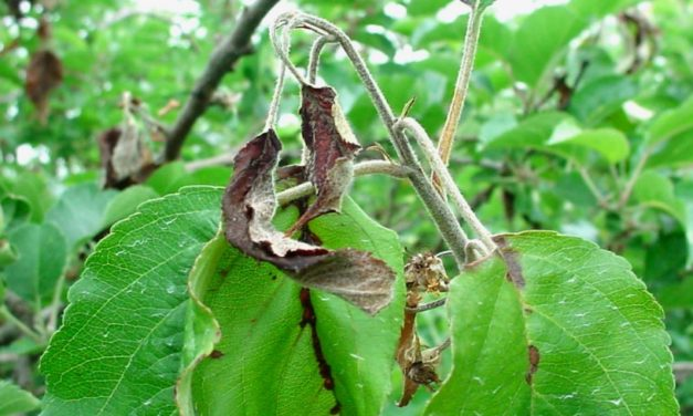 Fire Blight of Fruit Trees