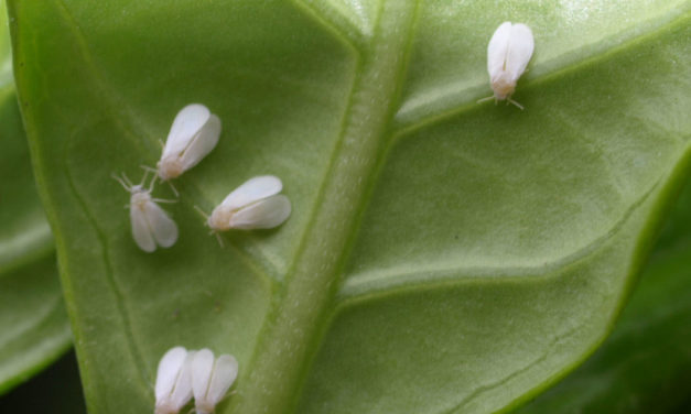 Gardenia Insects & Related Pests