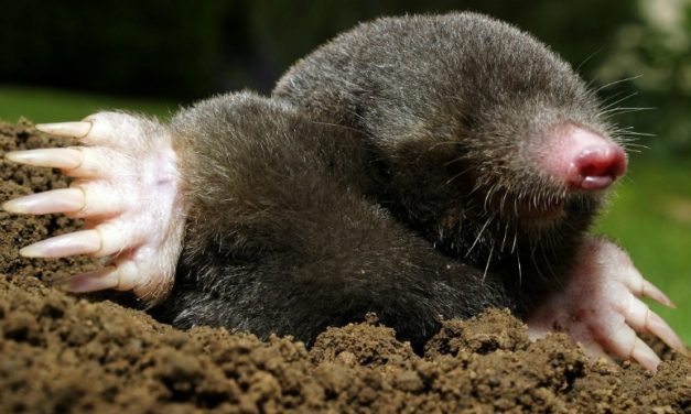 How to Tell the Difference Between Moles & Voles