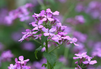 The money plant (Lunaria annua) flower stalk with blooms is botanically called a raceme because the flowers are arranged in a spiral going up and around the main stalk