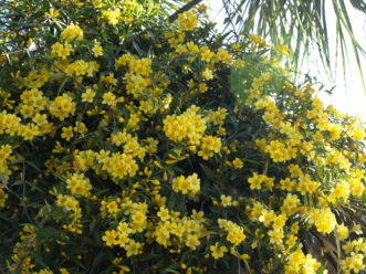 Yellow Jessamine (Gelsemium sempervirens) is a drought tolerant native vine.