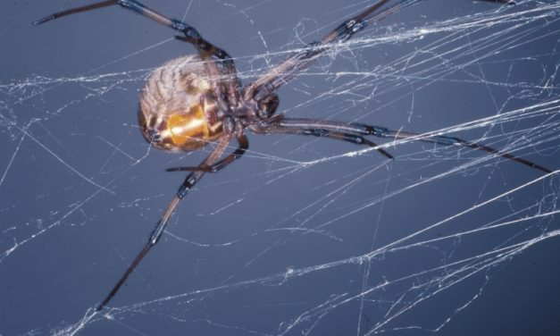 Brown Widow Spiders