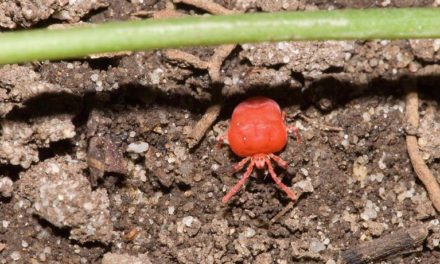 Citrus Insects & Related Pests | Home & Garden Information