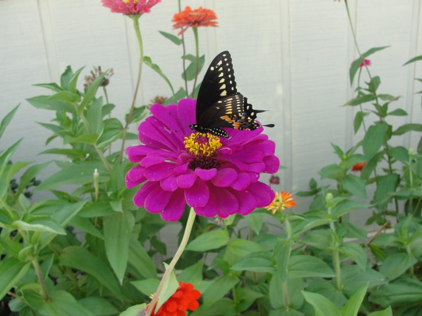 Eastern black swallowtail (Papilo polyxenes asterius) foraging on zinnias (Zinnia sp.).