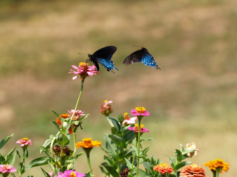 Knowledge of habitat, host plants (for egg laying and caterpillar food), and nectar preferences helps in attracting butterflies to the garden.