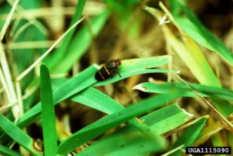 Adult spittlebugs may feed on grasses. This results in chlorotic stippling of the blades.