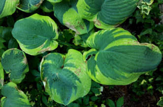 After nearby trees were removed, the exposure to intense sunlight resulted in sunscald on this variegated hosta. Notice that the sunscald initially occurs on the white, yellow, or lighter green sections of variegated hosta leaves.