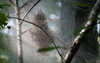 Fall webworm caterpillars feed on 90 different species of trees.