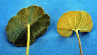Dollarweed leaf on the left and dichondra leaf on the right. Bert McCarty, ©Clemson University