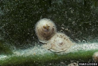 Example of an armored scale adult. US National Collection of Scale Insects Photographs Archive, USDA ARS, Bugwood.org