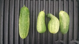 A properly pollinated cucumber is on the left. The three misshapen cucumbers on the right are due to low fertility or poor pollination.