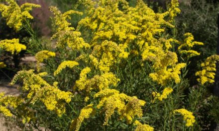 How to Tell the Difference Between Goldenrod and Ragweed