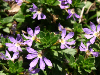 ´New Wonder ´Scaevola blooms all summer long.