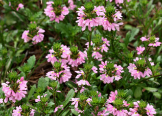 The dainty pink flowers of ´Pink Charm™´ Scaevola will bloom from mid-spring to late summer.