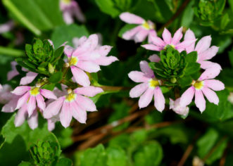 ´Fairy™ Pink´ Scaevola is an excellent choice for mixed containers and hanging baskets.
