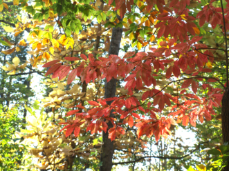 Black gum is one of our most dependable native trees for great fall color.