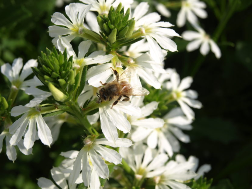 A honeybee gathering pollen from a ´Whirlwind® White´ Scaevola.