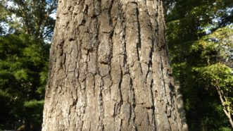 Black gum has attractive, deeply ridged bark.