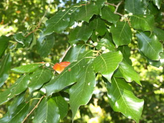 The alternately arranged, dark green, glossy leaves of black gum are 3-inches long.