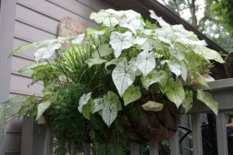 Caladium Home Garden Information Center