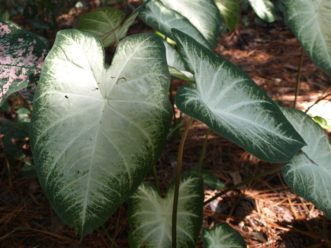 'Aaron' Caladium has white leaves with green margins.