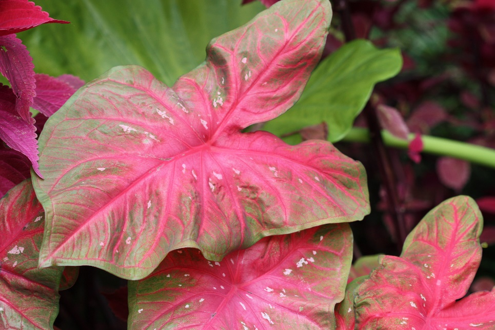 Caladium Red Flash Has Dark Leaves With Fuchsia Spots And Green Margins