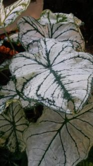 'Candidum´ is an old cultivar that has white leaves and prominent green veins.