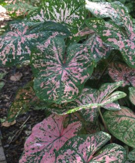 ´Florida Elise´ Caladium has green leaves with rose pink brush strokes and speckles.