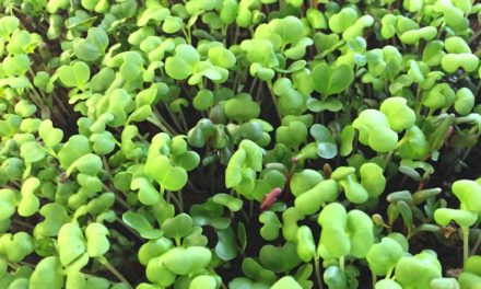 Growing Microgreens at Home or in the Classroom