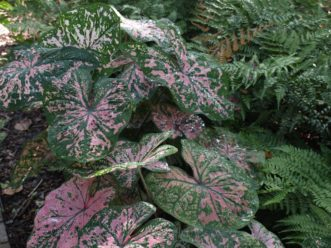 In the South, caladiums need protection from full, hot, afternoon sun for best growth and color.