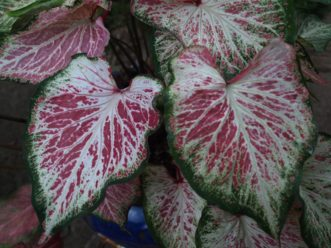 ´Peppermint´ Caladium has candy cane striped leaves with green leaf margins.