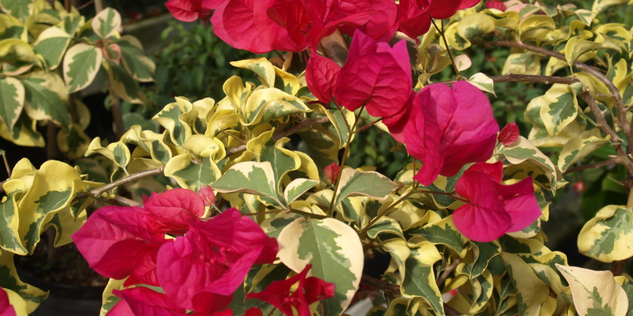 The raspberry pink bracts contrast well with the variegated foliage of the 'Raspberry Ice' Bougainvillea (Bougainvillea 'Raspberry Ice'). Barbara H Smith, ©2015 HGIC, Clemson Extension