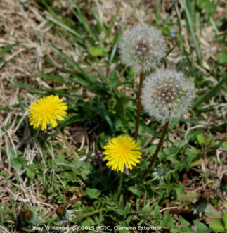 Common dandelion (Taraxacum officinale) is a perennial broadleaf weed that spreads by wind-blown seeds.