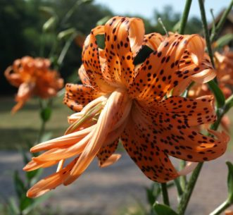Tiger Lily (Lilium lancifolium 'Flore Pleno') has double flowers.