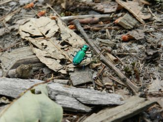 A six-spotted tiger beetle searching the forest floor for prey..