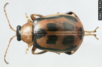 Bean leaf beetle (Cerotoma trifurcata). Natasha Wright, Florida Department of Agriculture and Consumer Services, www.insectimages.org