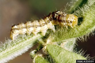 Corn earworm larva (Helicoverpa zea) on soybean. Clemson University - USDA Cooperative Extension Slide Series, www.insectimages.org