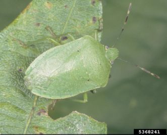 Southern green stink bug adult (Nezara viridula). Merle Shepard, Gerald R. Carner, and P.A.C Ooi, Insects and their Natural Enemies Associated with Vegetables and Soybean in Southeast Asia, www.insectimages.org