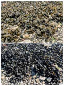 The top photo of Nostoc taken on an overcast day is showing approximately half of the potential size of the colony. The lower picture, taken on a sunny day, shows the same Nostoc colony in a black crust state. N. Jordan Franklin, ©2018, Clemson Extension