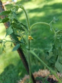 Drought stress in tomato plants can cause flowers to wither or drop prematurely.